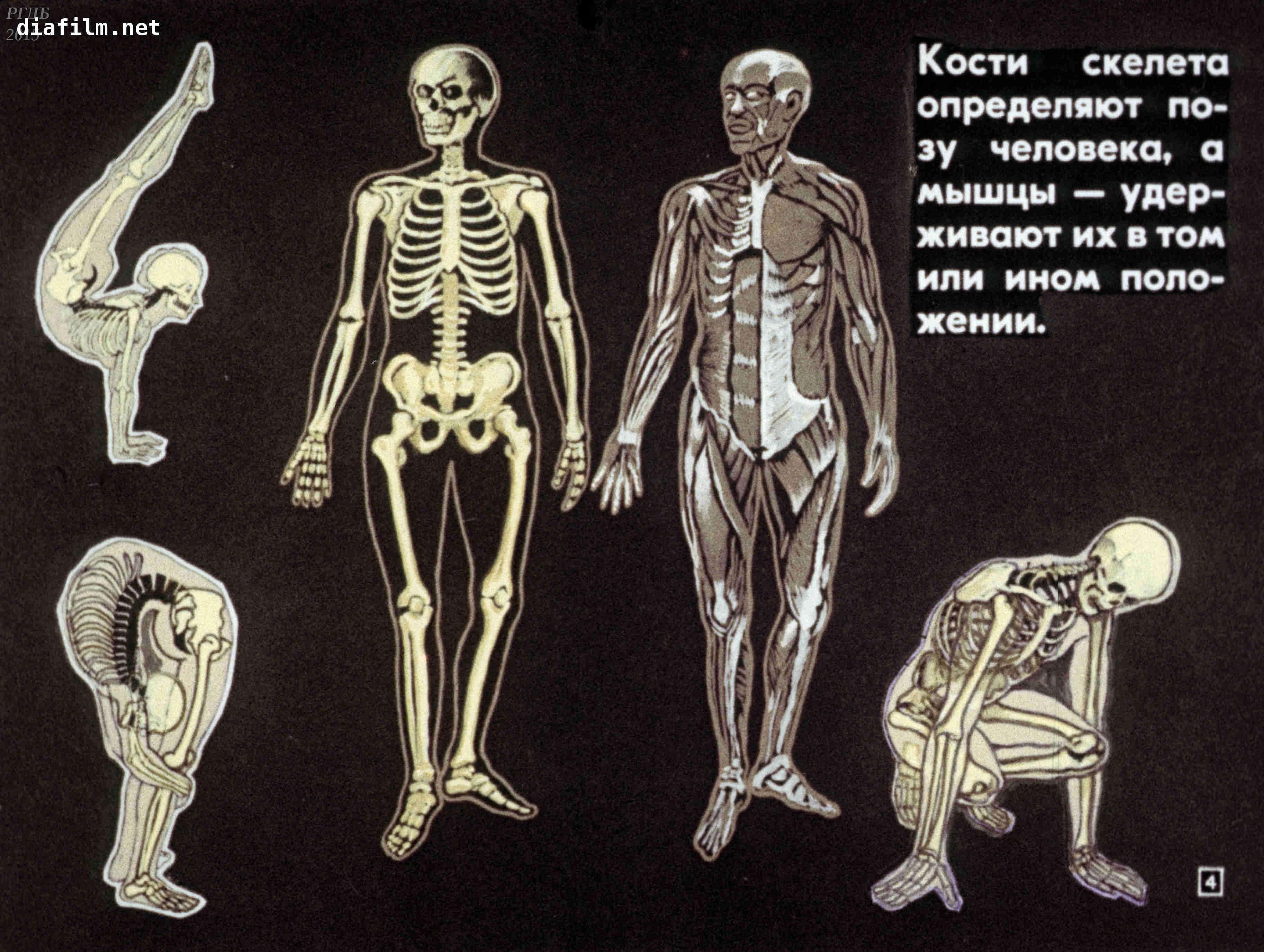 Кости скелета человека фото с описанием